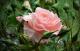 Черенкуем розы