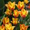 Гиацинты и примулы в саду