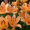 Сажаем лилии весной