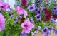 Составляем план цветника из однолетников